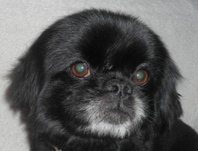 Adult Male Dog - Pekingese: