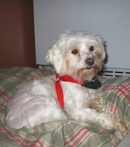 Adult Male Dog - Shih Tzu Maltese: