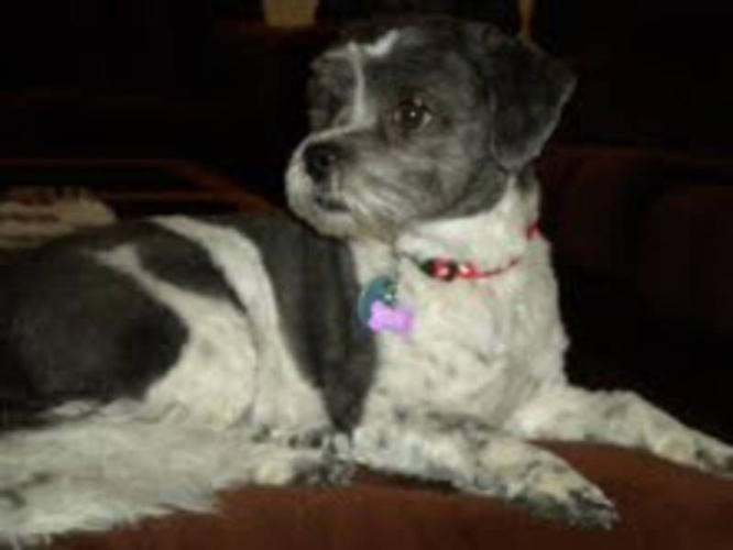 Adult Male Dog - Terrier: