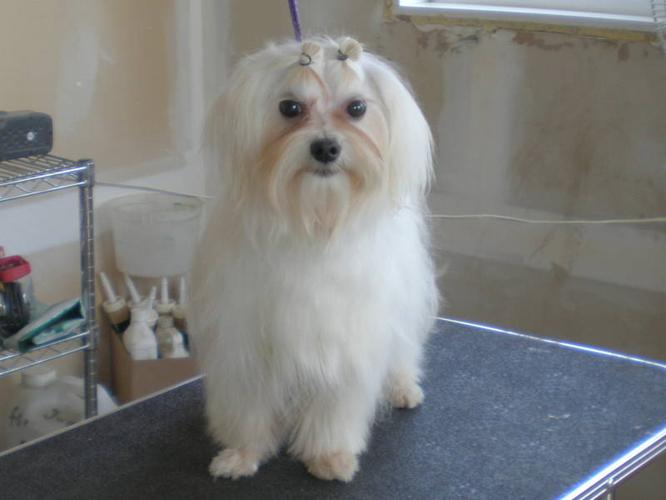 ADULT MALTESE FEMALE AND MALE