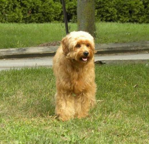Announcing New Minature Golden Doodle Pups