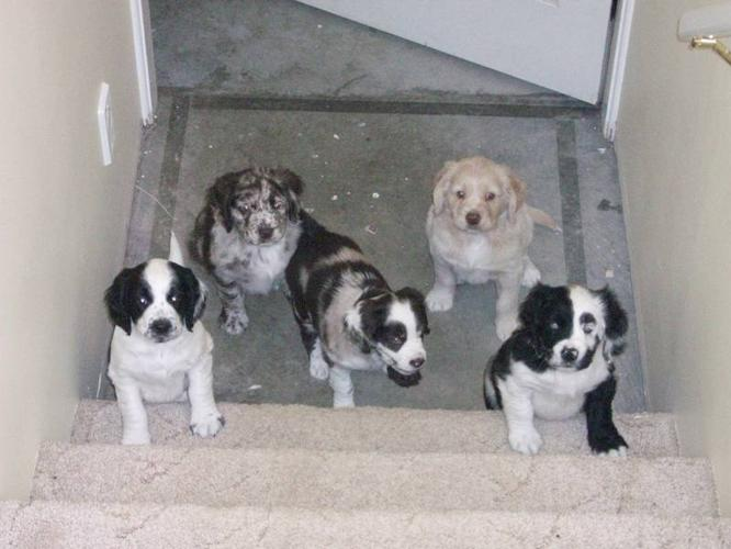 Are you our new home?: Mini Sport Retrievers Ready to Go now