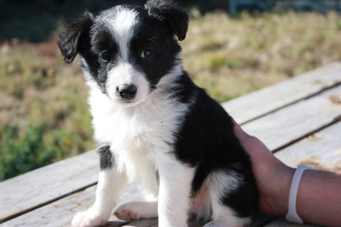 Australian Shepherd/ Border Collie/ Blue Heeler Puppies for sale in ...
