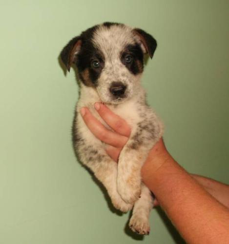 Dog Ready For Adoption Golden Retriever Border Collie ...