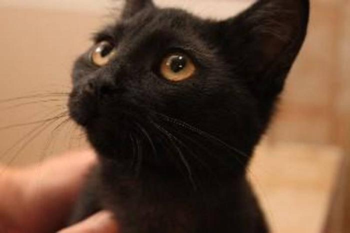 Baby Female Cat - Domestic Short Hair-black: