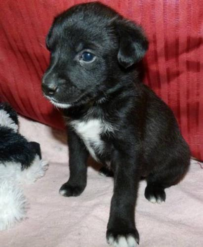 Baby Female Dog - Husky Rottweiler: