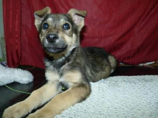 Baby Female Dog - Husky Shepherd: