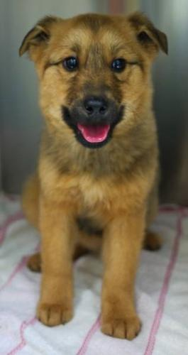 Baby Female Dog - Shepherd: