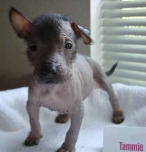 """... Hairless): """"Tammie"""" for sale in Brooks, Alberta - Your pet for sale Xoloitzcuintli For Sale In California"""