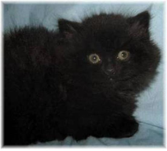 Baby Male Cat - Domestic Long Hair-black: