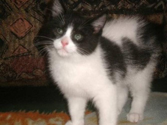 Baby Male Cat - Domestic Short Hair-black and white: