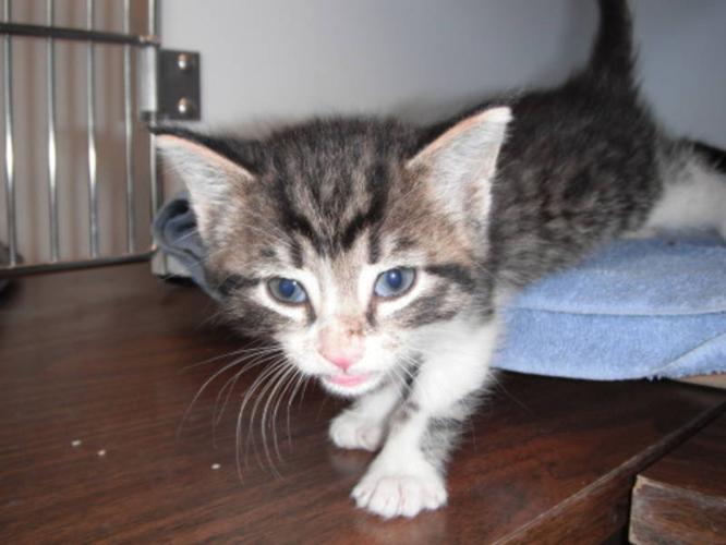 Baby Male Cat - Tabby - black: