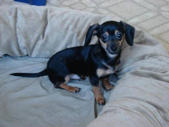 Baby Male Dog - Dachshund Chihuahua: