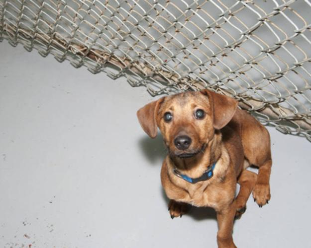 Baby Male Dog - Dachshund: