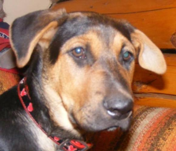Baby Male Dog - Shepherd: