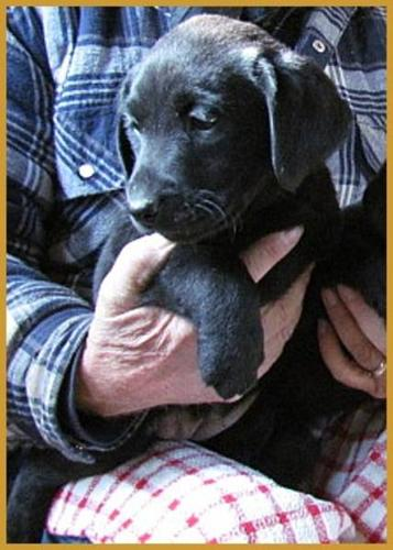 Beautiful Black Lab Puppies - CKC reg'd