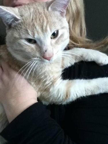 Beautiful Friendly Orange & White Manx Cat