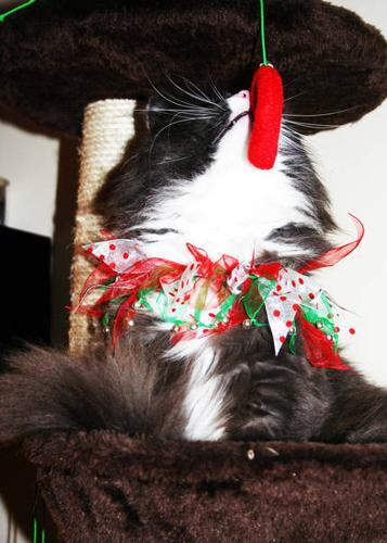 Beautiful Male Cat for Adoption - BRUCE!