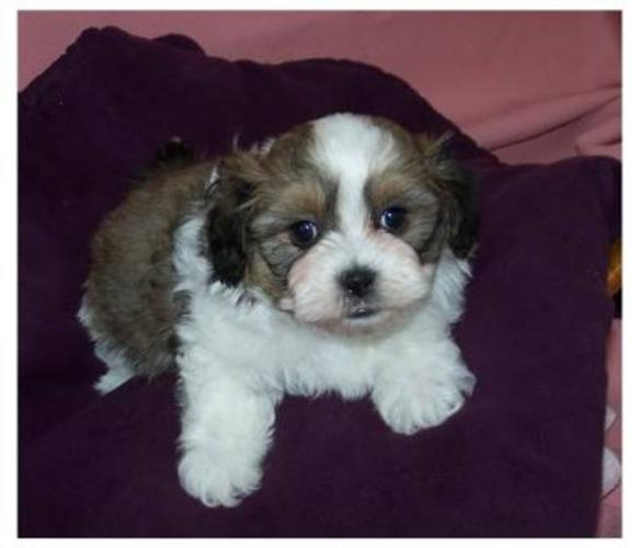 Beautiful NON SHEDDING Bichon x Shih Tzu puppies for sale in