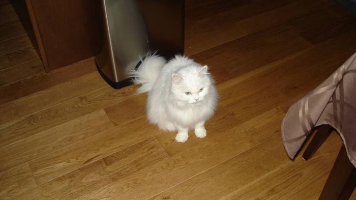Beautiful Persian X Cat