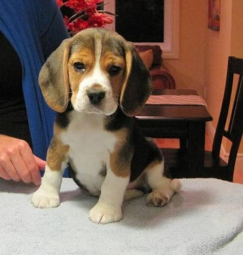 BEAUTIFUL PUREBRED REGISTERED BEAGLE PUPPIES