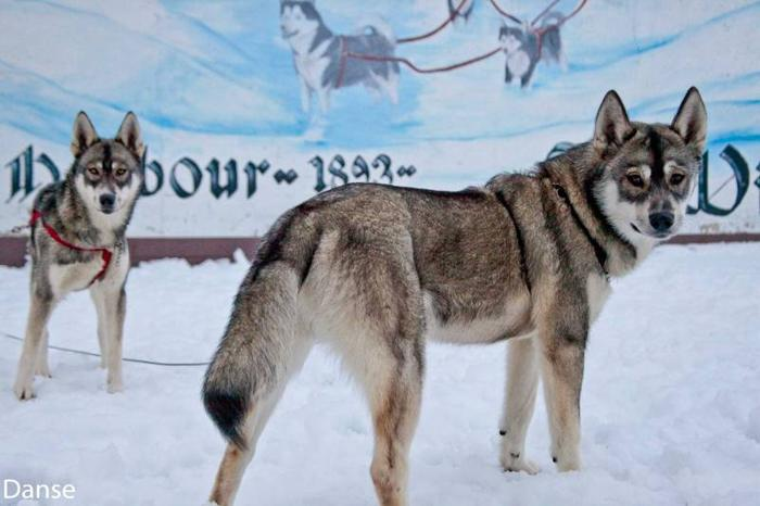 beautiful - Siberian Husky Brothers - 6 months old