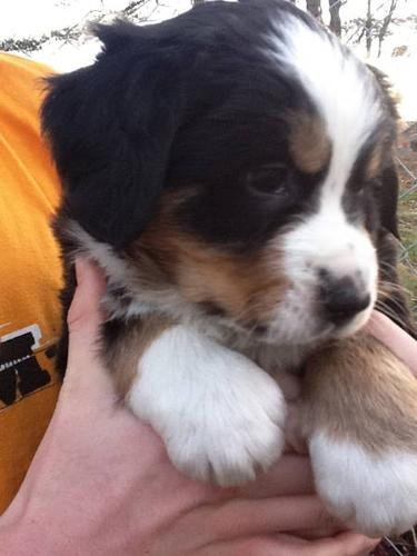 Bernese Mountain Dog Puppies For Sale In Cobourg Ontario