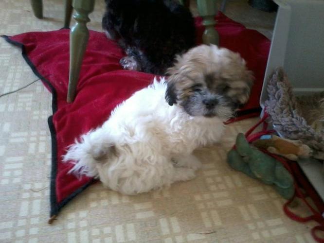 Bichon Shih Tzu for sale in Calgary, Alberta Your pet for sale
