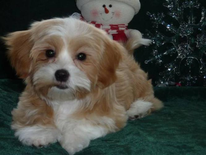 Bichon/Yorkie/Shih-tzu Cross Puppies for sale in Edmonton