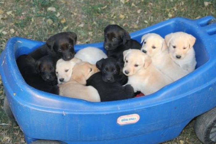 Black Lab - Golden Retriever Pups