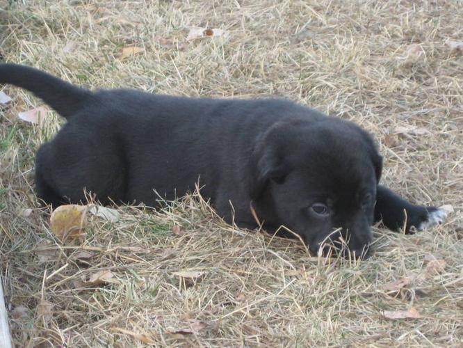 Black lab / heeler cross puppies