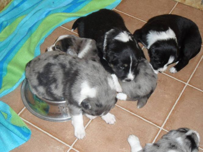 Border Collie Pups For In