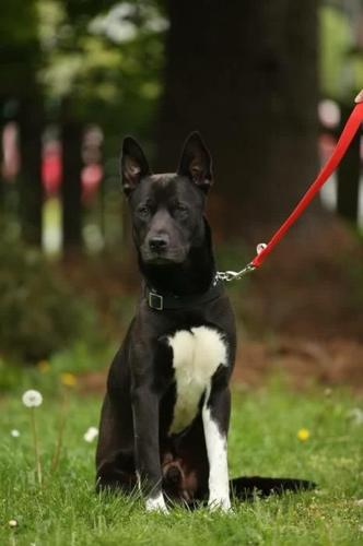 Border collie shepherd mix looking for his forever family.