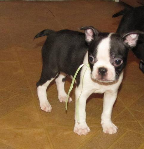 Boston Terrier Male Puppy Chocolate and White