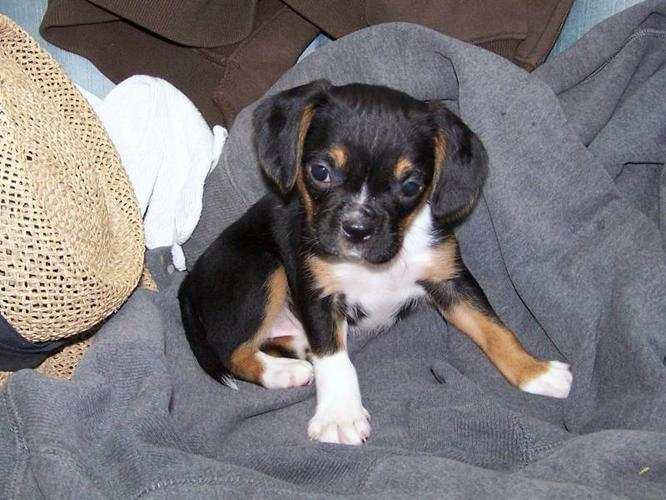 BOSTON TERRIER X Puppies - DELIVERY AVAILABLE