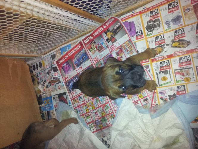 boxer cross mastiff