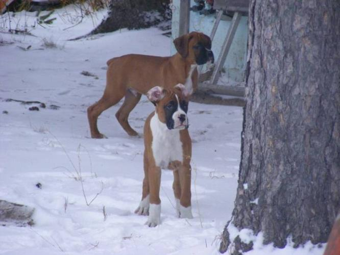 Boxer Puppies-Priced Lowered