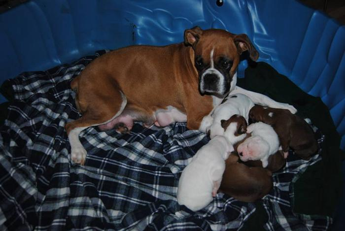 Boxer Puppies ready for Christmas