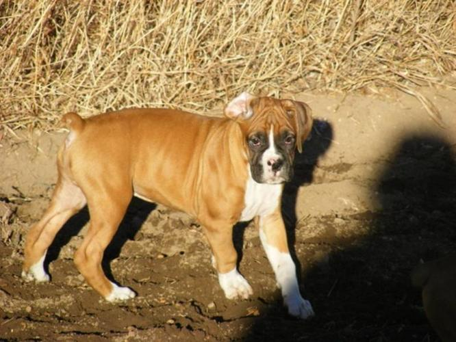 Boxer Puppies-REDUCED PRICE