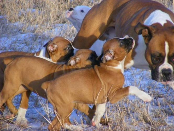 Boxer Pups-Going Fast