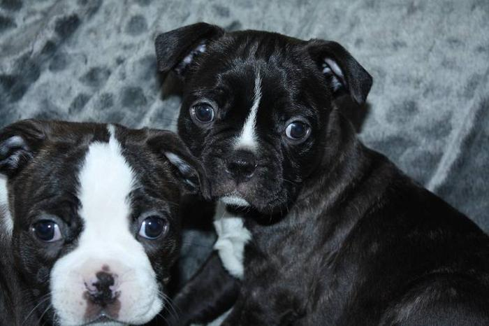 bugg puppies ..mom is bugg dad is boston terrier ..