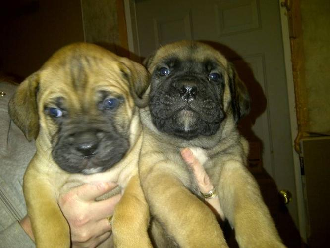 Bull Mastiff Puppies