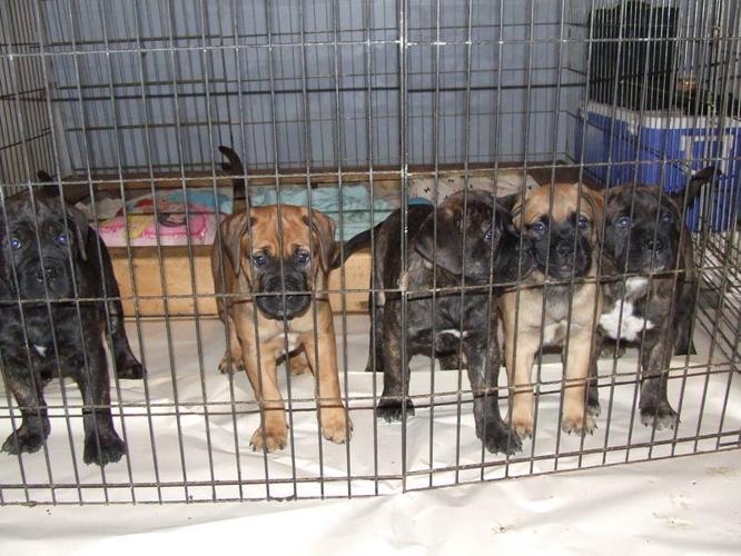 Bull Mastiff Puppies****Ready Now****PRICE DROP***