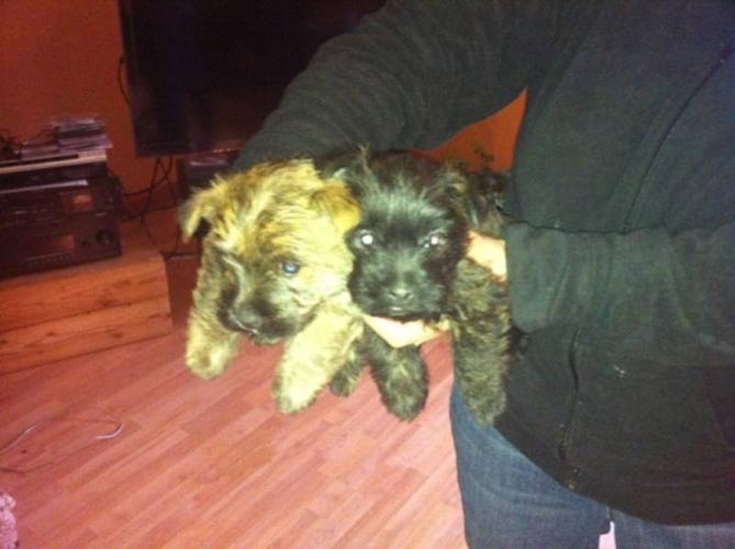Cairn Terrier Puppies for sale in St Francois Xavier, Manitoba