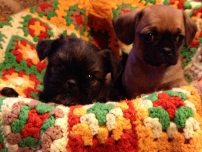 Cavalier King Charles Cross Pups!