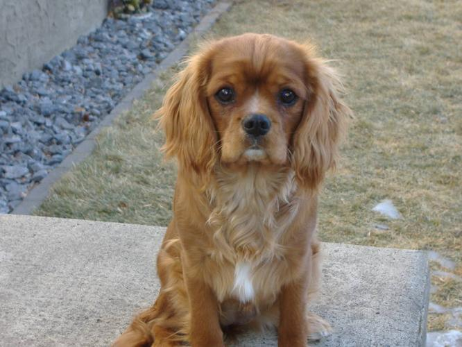 Cavalier King Charles Spaniel - Purebred for sale in High River