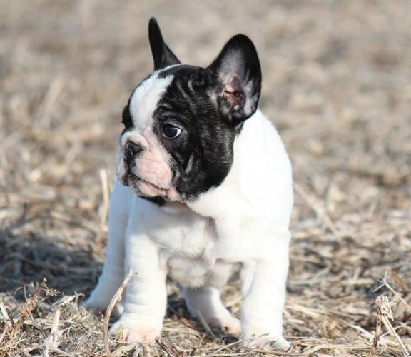 CHAMPION BRED CKC REG FRENCH BULLDOG PUPPIES for sale in