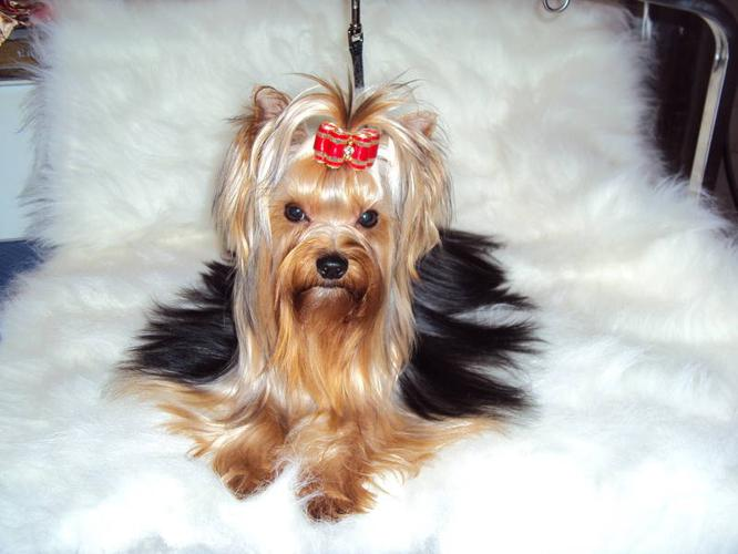 Champion sired 2 year old male yorkshire terrier for sale!