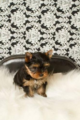 champion sired yorkie puppies for sale!