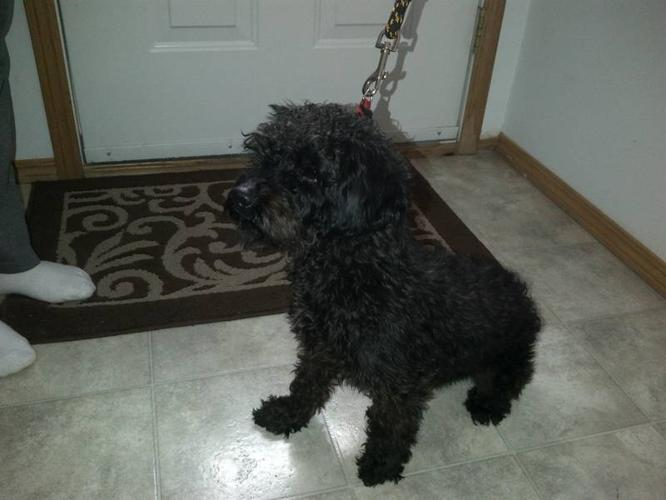 Charlie the Yorkie poodle!!